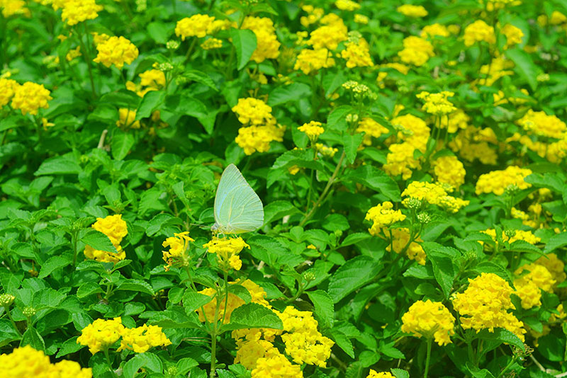 Beautiful Butterfly With Yellow Flowers Nature Wallpaper Free